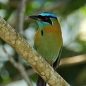 BLUE-CROWNED MOTMOT, Rancho Naturalista